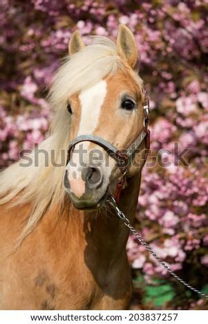 Portrait of a nice haflinger pony with sakura  - stock photo