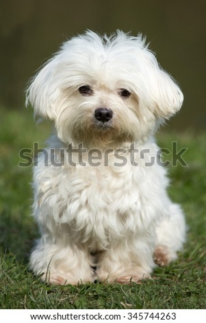 Portrait of a nice Maltese dog in the meadow - stock photo