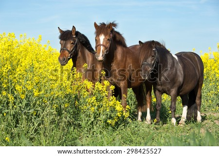 Portrait of a nice ponies in the colza - stock photo