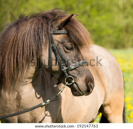 Portrait of a nice shetland pony in dandelions  - stock photo
