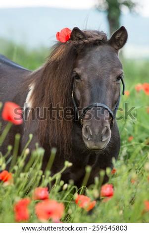 Portrait of a nice Shetland pony in poppy field - stock photo