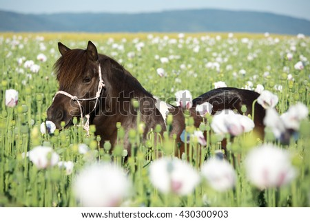 Portrait of a nice Shetland pony in the poppy field - stock photo