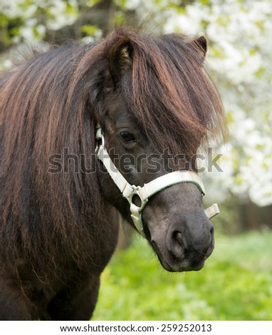 Portrait of a nice Shetland pony mare - stock photo