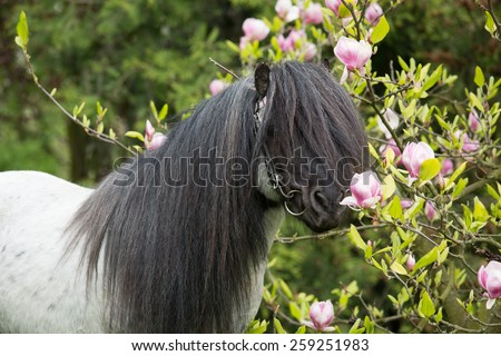 Portrait of a nice shetland pony stallion at flowering magnolia  - stock photo