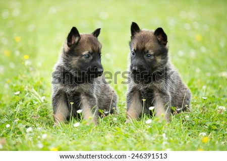 Portrait of a nice two German shepherd puppies - stock photo