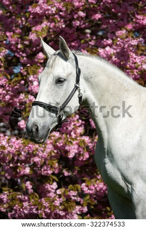 Portrait of a nice white horse on a pink background - stock photo