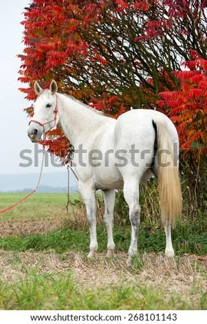 Portrait of a nice white horse on autumn background - stock photo