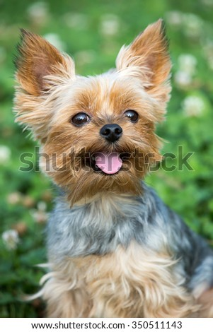 Portrait of a nice Yorkshire Terrier outdoors - stock photo