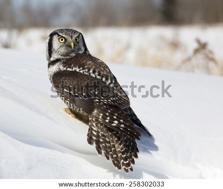 Portrait of a Northern Hawk Owl looking over his shoulder.  Winter in Wisconsin. - stock photo