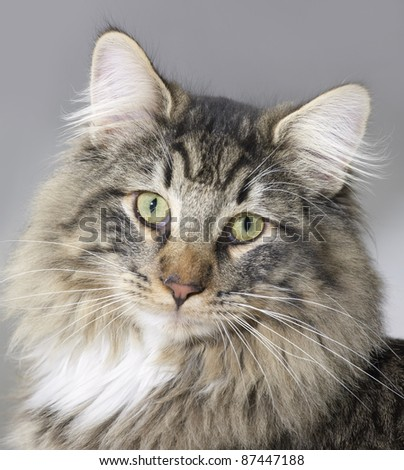 portrait of a Norwegian Forest Cat - stock photo