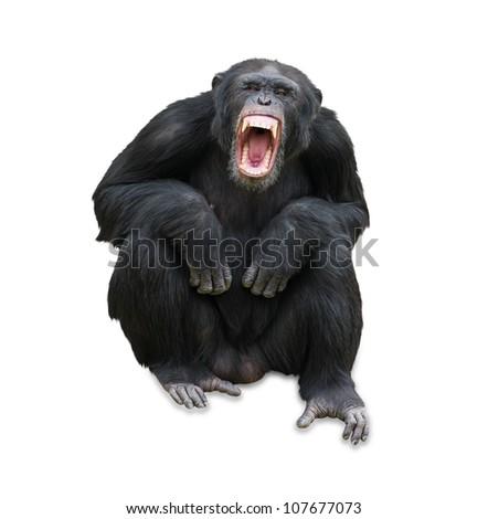 Portrait Of A Orangutan On White Background - stock photo