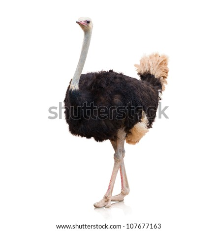 Portrait Of A Ostrich On White Background - stock photo