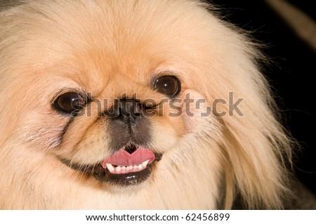 Portrait of a Pekingese dog breed. - stock photo