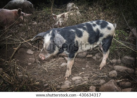 portrait of a pig in a natural environment - stock photo