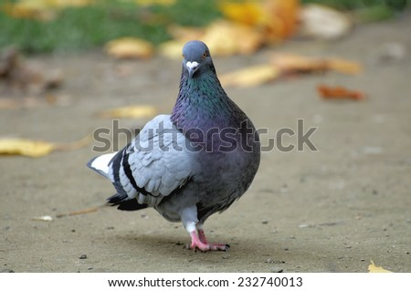 Portrait of a pigeon close up. - stock photo
