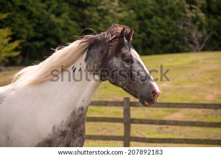Portrait of a pinto horse. - stock photo