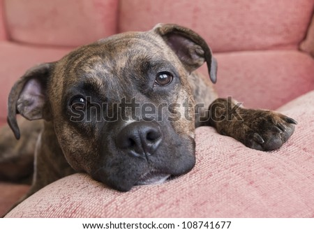 Portrait of a Pitbull lying on the couch at home - stock photo