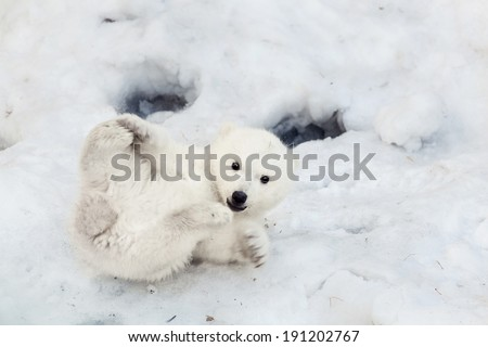 Portrait of a plaing polar bear baby on the snow - stock photo