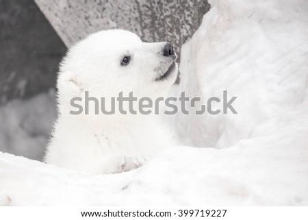 Portrait of a plaing polar bear baby on the snow - stock photo