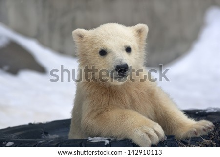 Portrait of a polar bear baby in a tired tire. - stock photo