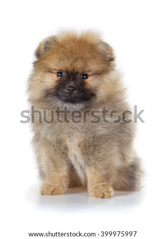 Portrait of a Pomeranian puppy age of 2 month isolated on white - stock photo