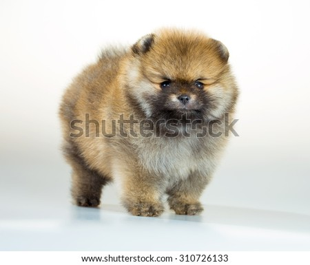 Portrait of a Pomeranian puppy age of 1,5 month over white background - stock photo