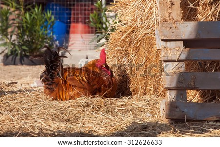 portrait of a proud, domestic colorful, rooster on a pile - stock photo