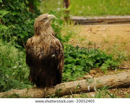 Portrait of a proud eagle - stock photo
