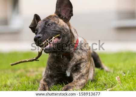 portrait of a puppy chewing on a stick - stock photo