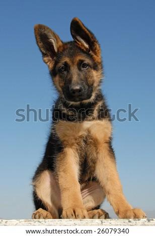portrait of a puppy german shepherd on a blue sky - stock photo