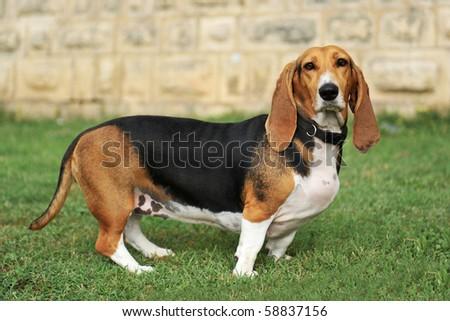 portrait of a purebred basset artesien (basset hound) - stock photo