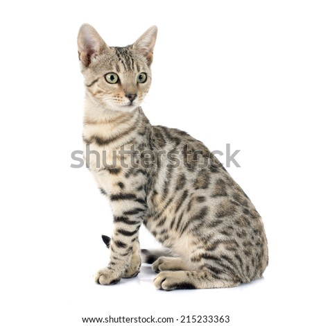 portrait of a purebred  bengal cat on a white background - stock photo