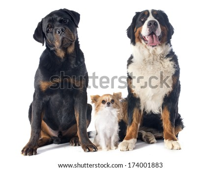 portrait of a purebred bernese mountain dog chihuahua and rottweiler in front of white background - stock photo