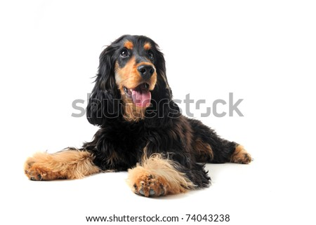 portrait of a  purebred english cocker in a studio - stock photo