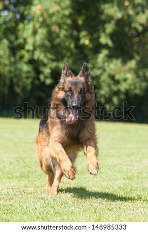 Portrait of a purebred  German Shepherd Dog on a green background - stock photo