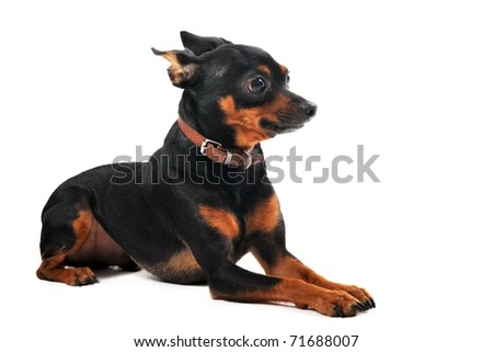 portrait of a purebred miniature pinscher on a white background - stock photo