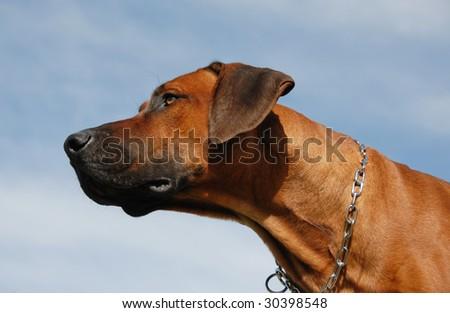 portrait of a purebred Rhodesian Ridgeback in a blue sky - stock photo