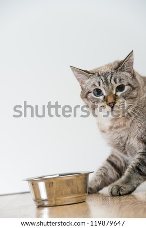 Portrait of a purebred striped cat pet and cat food on a gray background - stock photo