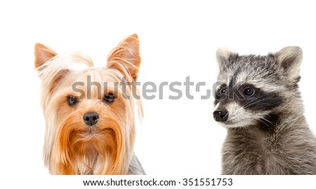 Portrait of a raccoon and Yorkshire terrier, closeup, isolated on white background - stock photo