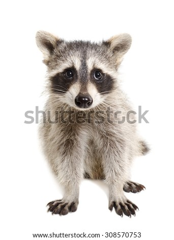 Portrait of a raccoon sitting isolated on white background - stock photo