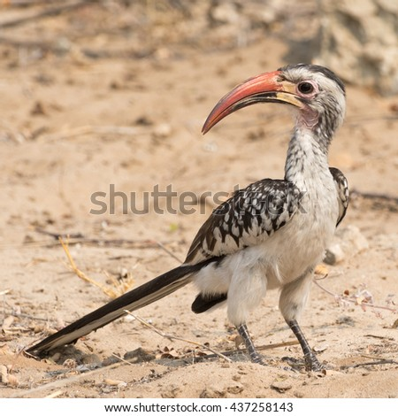 Portrait of a Red Billed Hornbill (Toko), seen in namibia, africa. - stock photo