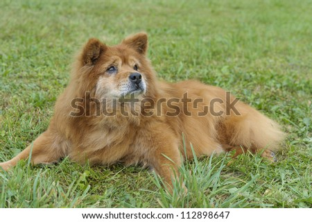 Portrait of a Red Chow - stock photo