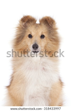 Portrait of a red dog of breed of Shetland Sheepdog. - stock photo