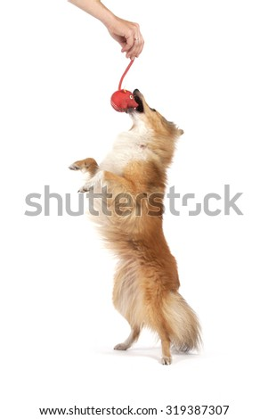 Portrait of a red dog Shetland Sheepdog ports jumping up behind a red toy on a white background. - stock photo
