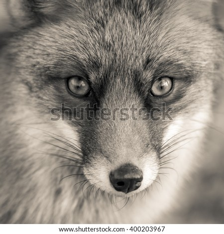 Portrait of a red fox in black and white - stock photo