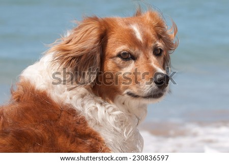 portrait of a red haired collie type dog at a beach  - stock photo