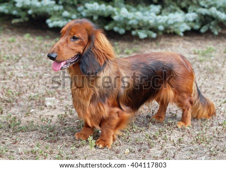 Portrait of a red long haired dachshund on natural background - stock photo