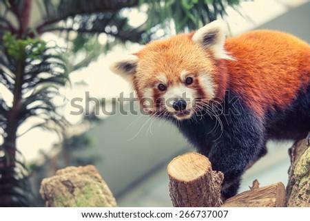 Portrait of a Red Panda, Firefox or Lesser Panda (Ailurus fulgens) - stock photo