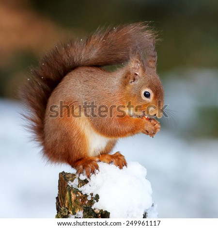 Portrait of a Red Squirrel perched on a snow covered log eating a nut. - stock photo