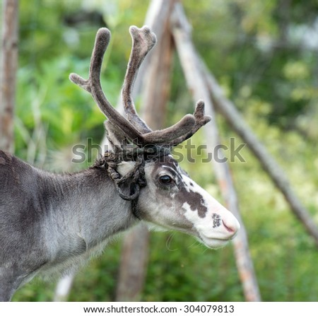 portrait of a reindeer - stock photo